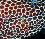 Honeycomb moray and cleaner shrimp