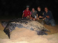huge_leatherback_turtle