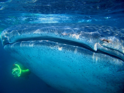 Whalesharks and Whales