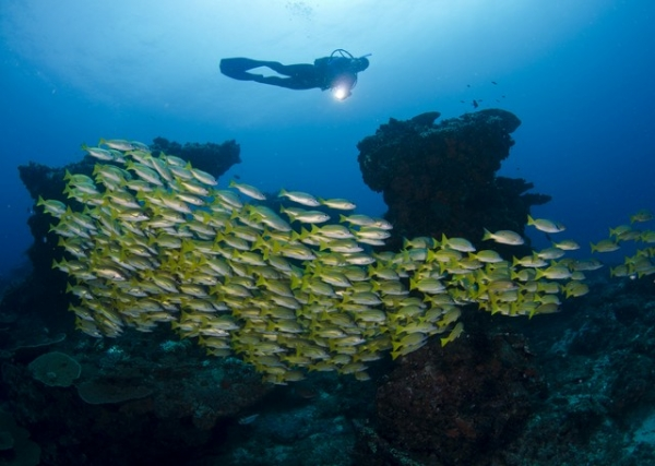 School of snappers at 7 Mile Reef, Sodwana Bay