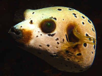 Blackspotted Puffer, 9 Mile Reef, Sodwana Bay