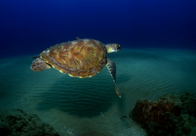 Green Turtle, Five Mile Reef