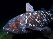Diving to see the Coelacanths with Peter Timm and Triton Dive Lodge