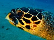 Loggerhead Turtle, Mellow Yellow, Two Mile reef