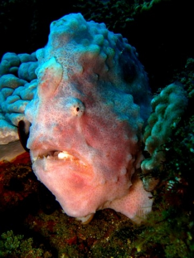 Anglerfish or Frogfish - Two Mile Reef